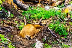 Un cervo munito il nero su Tod Mountain BC nel Canada immagine stock
