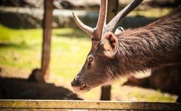 Un cervo selvaggio Fotografie Stock
