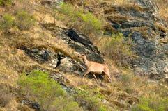 Un cervo solo su un prato verde Fotografie Stock