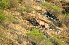 Un cervo solo su un prato verde Immagine Stock Libera da Diritti