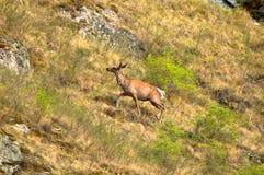 Un cervo solo su un prato verde Immagine Stock