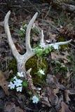 Un cervo sparso con i fiori dell'anemone di ruta Fotografie Stock Libere da Diritti