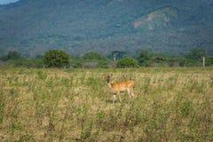 Un cervo sul suo habitat naturale, savanna Bekol, Baluran Il parco nazionale di Baluran è un'area di conservazione della foresta  immagine stock libera da diritti