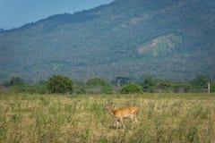 Un cervo sul suo habitat naturale, savanna Bekol, Baluran Il parco nazionale di Baluran è un'area di conservazione della foresta  fotografia stock libera da diritti