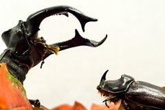 Un cervo volante enorme esamina un piccolo scarabeo rinoceronte Fotografia Stock