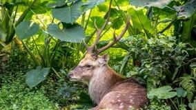 Un cervus nippon, i cervi Sika, una menzogne di riposo fra gli alberi e le piante della foresta fotografia stock libera da diritti