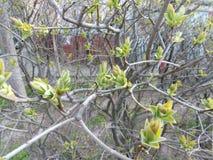 Un cespuglio che fiorisce con le foglie verdi in un'iarda della città Fotografia Stock