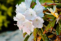 Un cespuglio con i fiori bianchi in fioritura su una festa dei lavoratori soleggiata fotografia stock libera da diritti