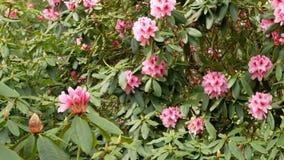 Un cespuglio con i fiori rosa del rododendro ondeggia nel vento stock footage