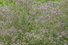 Un cespuglio del gypsophila comune fotografia stock libera da diritti