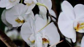 Un cespuglio del primo piano bianco delle orchidee La macchina fotografica si spost indietroare sul cursore Correzione di colore video d archivio