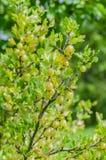 Un cespuglio delle bacche giallo verde mature dell'uva spina con un gusto magnifico fotografie stock