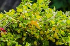 Un cespuglio delle bacche giallo verde mature dell'uva spina con un gusto magnifico immagini stock libere da diritti