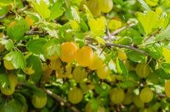 Un cespuglio delle bacche giallo verde mature dell'uva spina con un gusto magnifico immagini stock