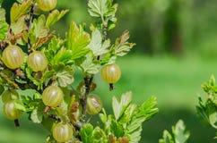 Un cespuglio delle bacche giallo verde mature dell'uva spina con un gusto magnifico fotografie stock libere da diritti