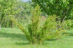 Un cespuglio delle bacche giallo verde mature dell'uva spina con un gusto magnifico fotografia stock libera da diritti