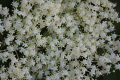 Un cespuglio di bacca di sambuco di fioritura È coperto di fiori bianchi fotografia stock
