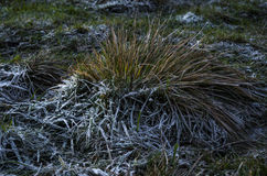 Un cespuglio di erba spessa con gelo spesso nella notte Fotografia Stock