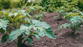 Un cespuglio di giovane pomodoro di fioritura si sviluppa nel giardino stock footage