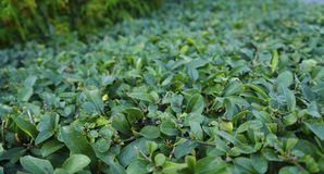 Un cespuglio lungo del fondo delle foglie verdi Fotografia Stock Libera da Diritti