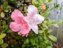 Un cespuglio rosa dell'azalea in fioritura Fotografie Stock Libere da Diritti