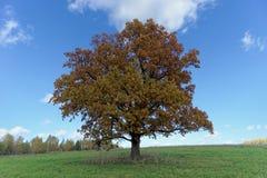 Un chêne solitaire sur le champ en automne Photos stock