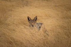 Un chacal se cachant dans l'herbe images libres de droits