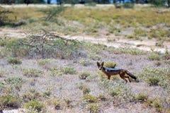Un chacal se tient au milieu d'un champ dans l'herbe image stock