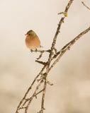 Chaffinch maschio sul ramo Fotografia Stock Libera da Diritti