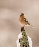 Chaffinch maschio con neve Immagini Stock