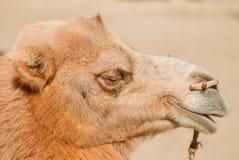 Un chameau Photos stock