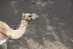 Un chameau images stock