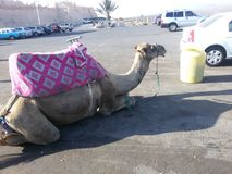 Un chameau Agadir - du Maroc Photo stock