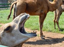 Un chameau appelle le troupeau photos stock
