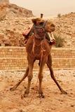 Un chameau avec des jambes en position à faire pipi Photographie stock libre de droits