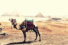 Un chameau dans le désert de Gizeh devant les pyramides pendant la tempête de sable photos libres de droits
