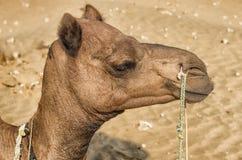 Un chameau dans le désert, Jaisalmer, Inde Photos stock