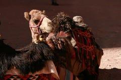 Un chameau dans une selle traditionnelle Photos stock