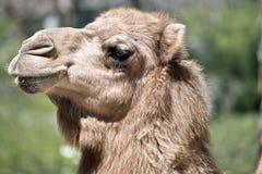 Un chameau de dromadaire images stock