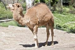 Un chameau de dromadaire photo libre de droits