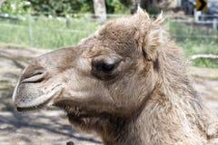 Un chameau de dromadaire photos libres de droits