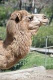 Un chameau de dromadaire image stock