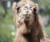 Un chameau de dromadaire image libre de droits