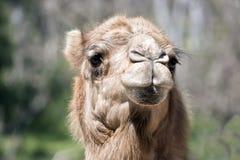 Un chameau de dromadaire photographie stock
