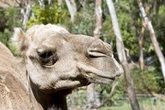 Un chameau de dromadaire photo stock