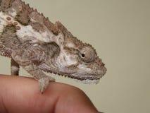 Un Chameleon Fotografie Stock Libere da Diritti