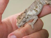 Un Chameleon Fotografia Stock Libera da Diritti