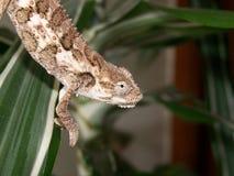 Un Chameleon Fotografie Stock