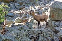 Un chamois en parc national d'Ecrins images stock