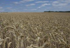 Un champ énorme rempli du blé Un tir détaillé des usines photo stock